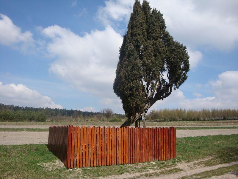 Pomnikowy Jalowiec w Bełżcu